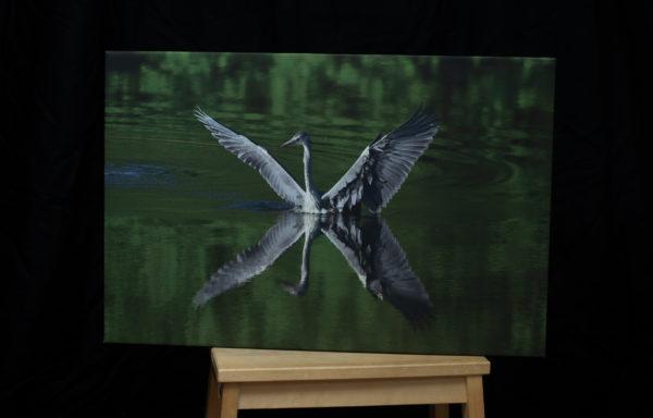 Foto na plátně, 40 x 60 cm, volavka popelavá