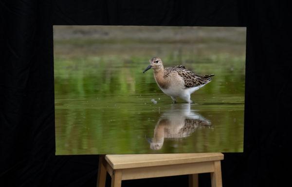 Foto na plátně, 40 x 60 cm, jespák bojovný