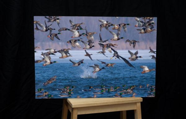 Foto na plátně, 40 x 60 cm, orel mořský na lovu