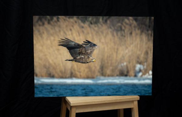 Foto na plátně, 40 x 60 cm, orel mořský